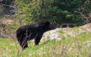 Bär Alaska
